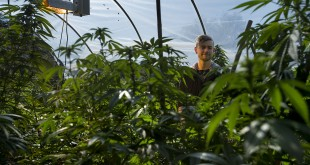 "Marijuana grower Basil McMahon with his crop in Grass Valley, Calif., on November 12, 2015. A sweeping new package of laws will reverse years of state silence by regulating and licensing every stage of the medical marijuana industry. ""It means I'll be able to do what I'm doing without fear of persecution for the first time in my life, for the first time in generations,"" McMahon said. (Randall Benton/Sacramento Bee/TNS)"